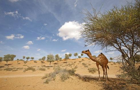 Ras Al Khaimah - Camel