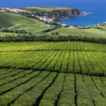 bigstock-Tea-plantations-at-Porto-Formo-230758054